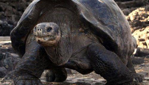 Stary żółw z Wysp Galapagos