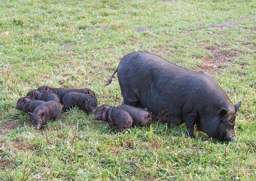 Wietnamska świnia zwisłobrzucha jako zwierzę domowe