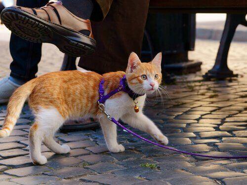 Wyprowadzanie kota: jak zabrać pupila na spacer?