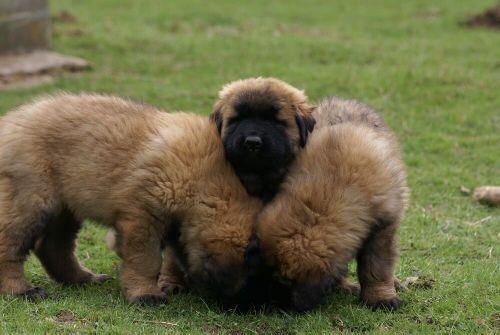 Dwa duże psy z Estrela