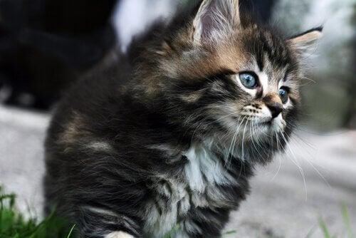 Najdroższe rasy kotów - poznaj 7 z nich