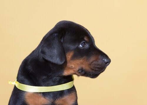 Projekt Żółty Pies ostrzega ludzi przed agresją psa
