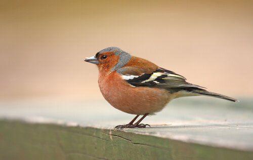 Zięba mało znany ptak śpiewający