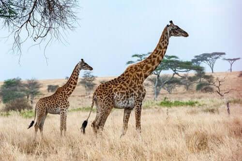 żyrafy śpią zaskakująco krótko