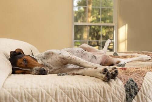 Pozycje spania - pies na łóżku
