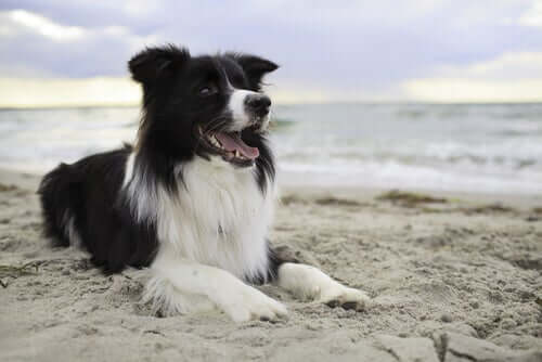 border collie na plaży