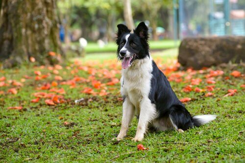 Border Collie – co wiemy o tej rasie?