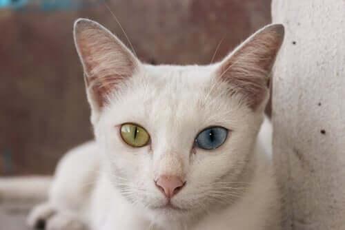 Kot o różnokolorowych oczach