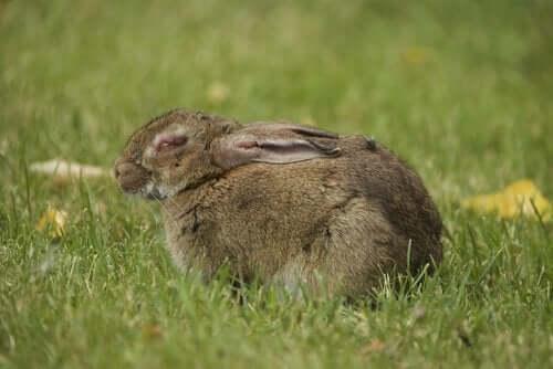 Chory królik na łące