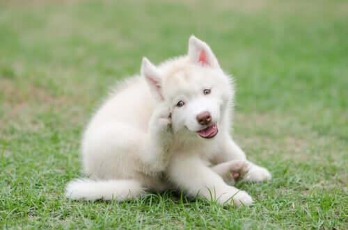 odrobaczanie psów biały pies