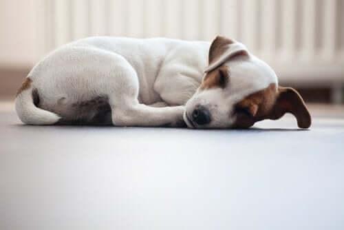 Pozycje spania - pies zwinięty w kłębek