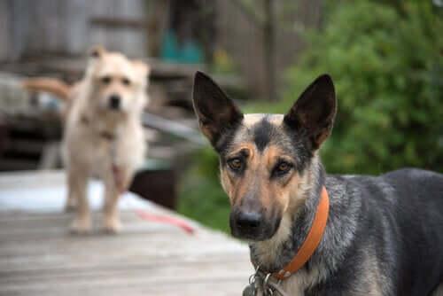 Psy mieszane czy psy rasowe – które są zdrowsze?