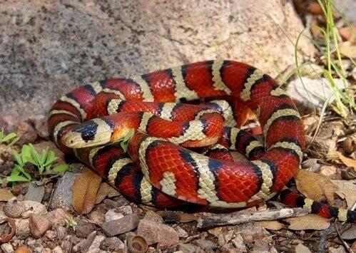 Wąż koralowy
