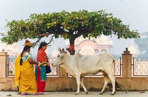 święte zwierzęta krowy