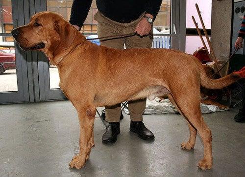 Duży pies rasy broholmer
