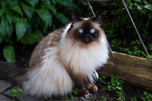 koty długowłose rasy 1 syjamski