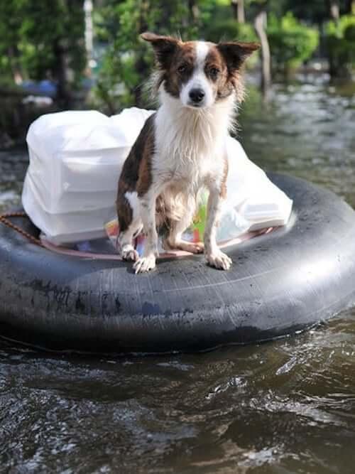 pies podczas powodzi opieka