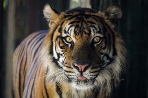 tygrys a maskotka