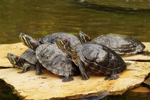 Czerwonolice żółwie wodne