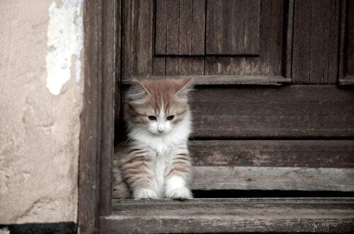 Kot rasy Cymric: długowłosy i bez ogona