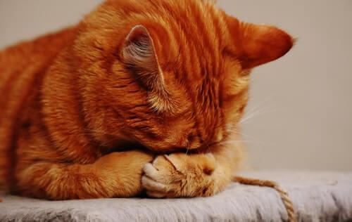 białaczka kotów rudy kot