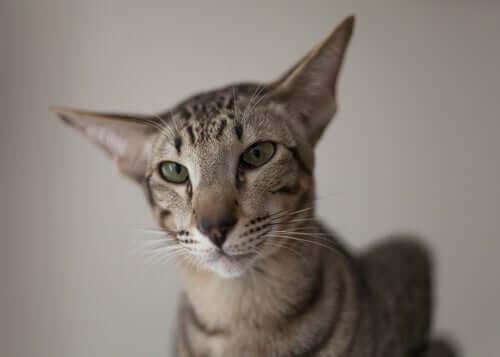 Kot orientalny - poznaj bliżej tę rasę