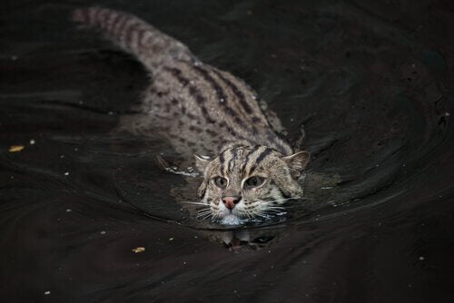Kotek cętkowany, zwierzę zagrożone wyginięciem