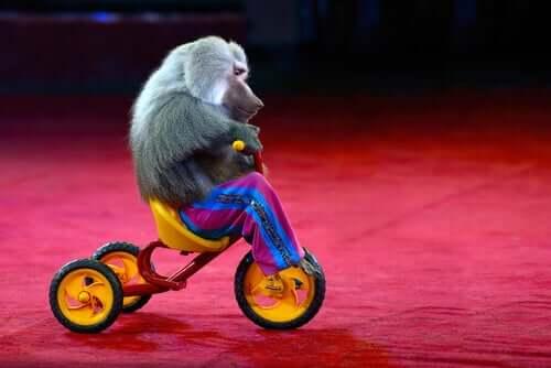 małpa w cyrku