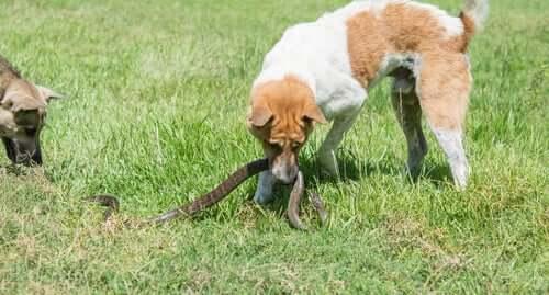 pies bawi się wężem ugryzienie