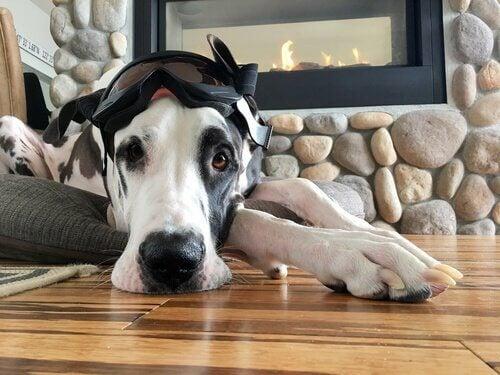 Pies z goglami na głowie