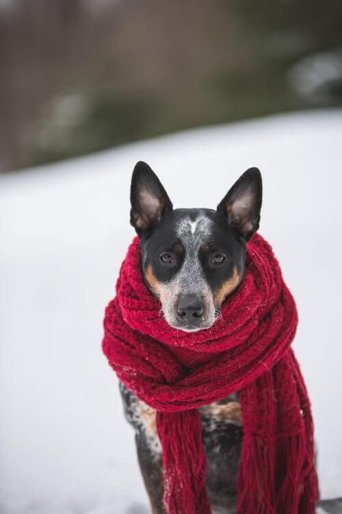 pies w szaliku