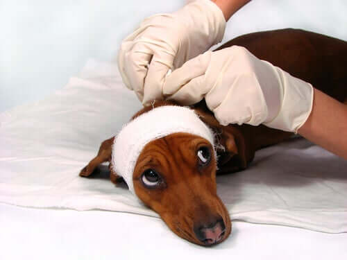 pies z zabandażowaną głową ofiara znęcanie się nad zwierzętami