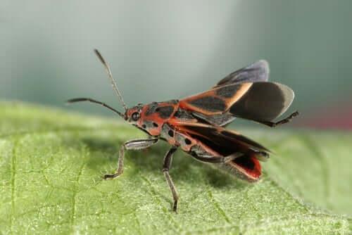 Pluskwa skrzydlata i choroba Chagasa