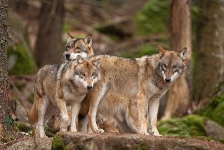 Szare wilki w lesie