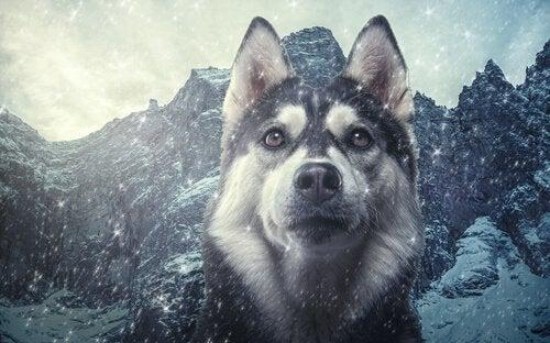 Taksonomia psów: podobieństwa psów do wilków