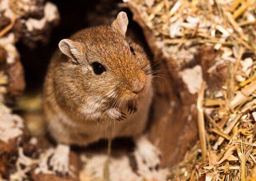 Imiona dla myszoskoczków – Egipskie i arabskie propozycje