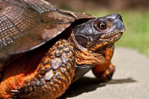 Żółw domowy – jaki gatunek wybrać?