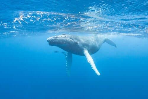 Śpiew wielorybów - dowiedz się o nim więcej