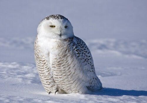 Sowa śnieżna, majestatyczne zwierzę