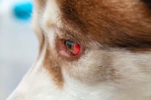 Problemy z oczami u psa - co zrobić?
