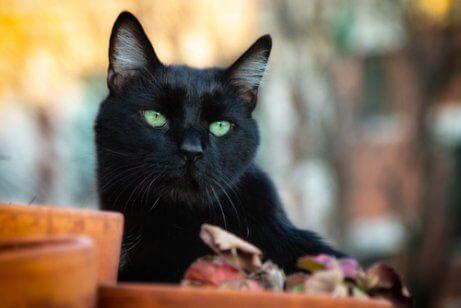 Czarne koty - kot z zielonymi oczami