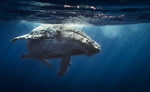 Wieloryb pod wodą