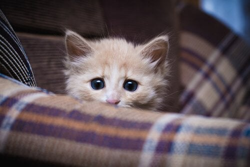 Mały, brązowy kotek na sofie