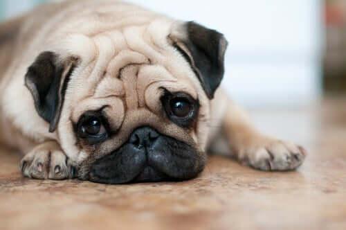 Pielęgnacja pomarszczonej skóry psa