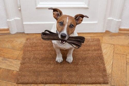 Pies trzyma smycz w pysku