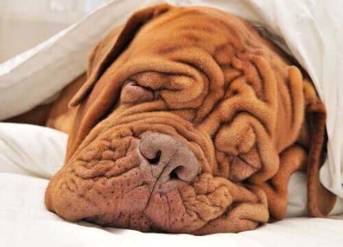 śpiący pies pomarszczona skóra