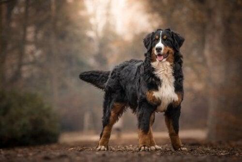 Berneńczyki to piękne, mądre, największe psy.