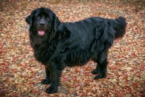 Wodołazy to również największe psy