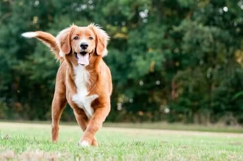 Pies aportujący z Nowej Szkocji
