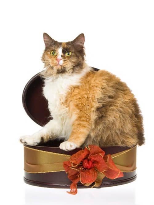 Kot w pudełku na prezent